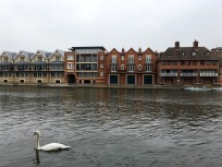 A nice swan on the Thames